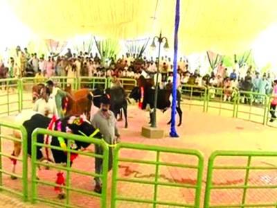 شیخوپورہ میں قربانی کے جانوروں کے درمیان کیٹ واک کا اہتمام