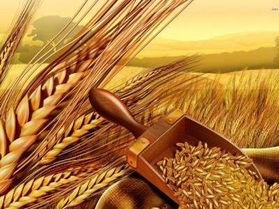 حکومتی گندم کا والی وارث کون؟