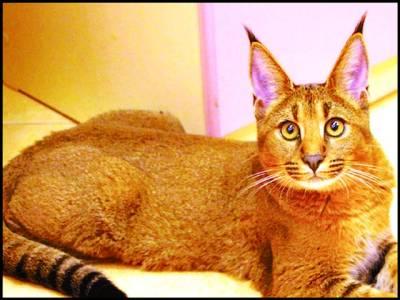 ماسکو،دنیا کی نایاب ترین بلی فروخت کے لیے پیش