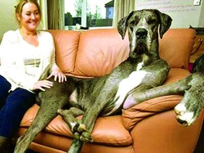 برطانیہ میں 7فٹ 6انچ کا کتا،90 کلو وزن، مکھن اور بریڈ کا شوقین