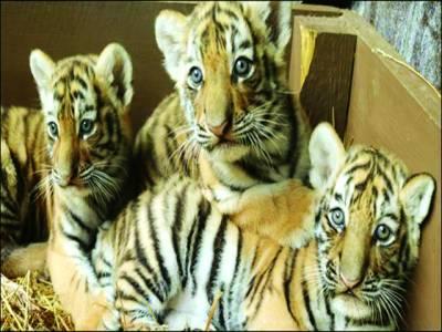 روس:تین ننھے شیر پہلی بار عوام کے سامنے پیش