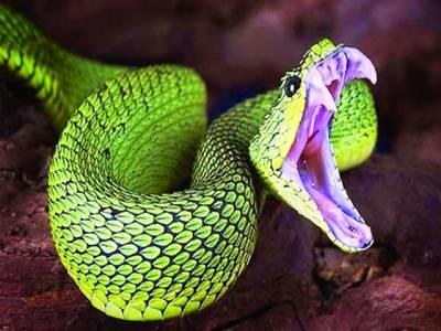 سانپ کا زہر امراضِ قلب سے بچاؤ میں مددگار،جدید تحقیق میں انکشاف