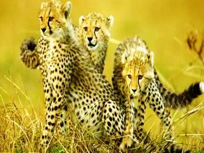 مادہ چیتے تنہا جبکہ نر غول میں رہنا پسند کرتے ہیں