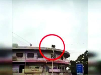 قربانی کی گائے نے تیسری منزل سے چھلانگ لگا دی