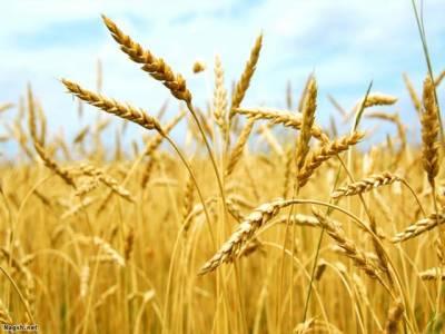 گندم کی فراوانی اور نکاسی