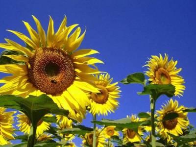 سورج مکھی اگاؤ ، منافع کماؤ