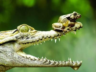 جکارتہ: مگرمچھ کے منہ پر مینڈک بیٹھا ہوا ہے