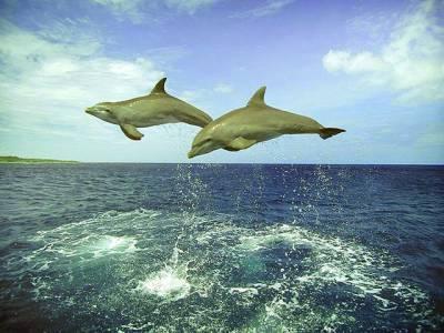 سڈنی : ڈولفن مچھلییوں کا جوڑا سمندر میں اٹھکیلیاں کر رہا ہے
